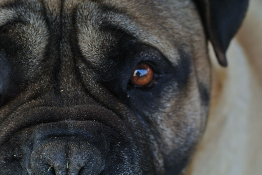 Image of part of the face of an adult male bullmastiff called Thunder, with his left eye gazing a the viewer.