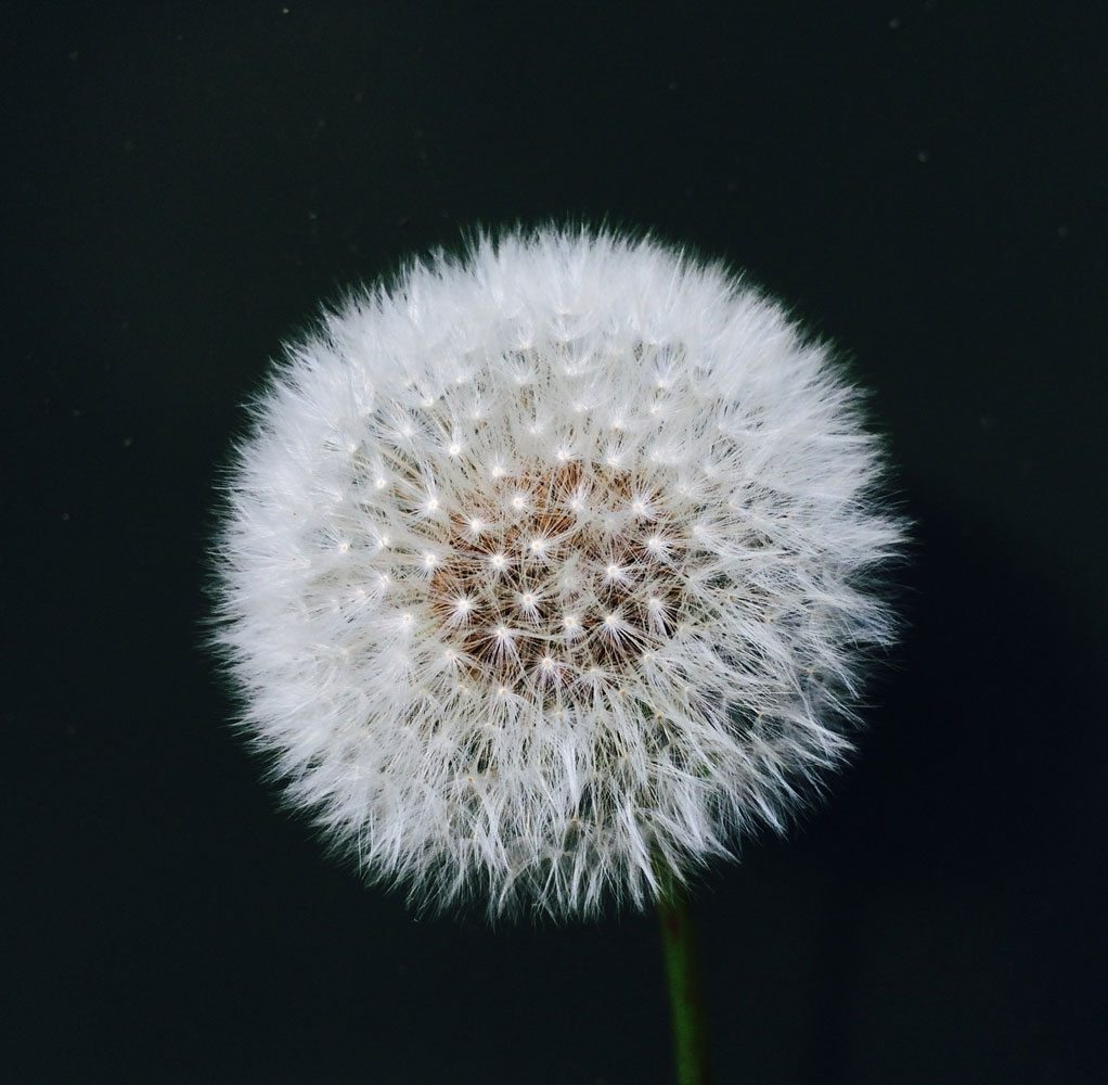 close-dandelion