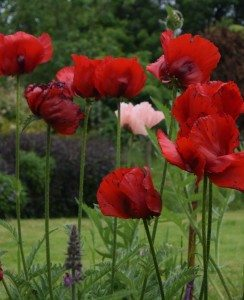 A solitary pink poppy amongst a stand of red poppies