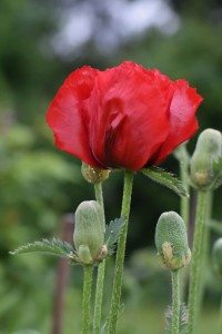 Tall single red poppy as an image of pride in achievement