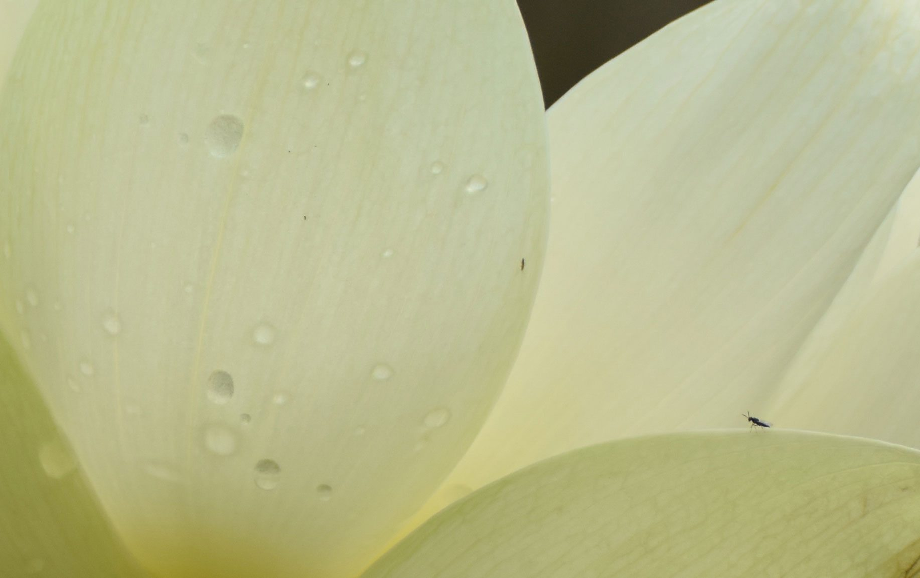 Image of tiny black bug on the cream petals of an open lotus blossom - photo taken by Sharon Ngo, Instructor, Fujian White Crane Kung Fu & Tai Chi Martial Arts