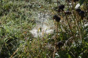 Damp cobwebs on the grass - the spiders have their autumn training in hand