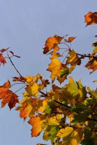 Sunny autumn leaves against a clear blue sky - perfect autumn training weather